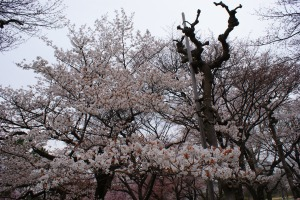 Two kinds of cherry blossom trees