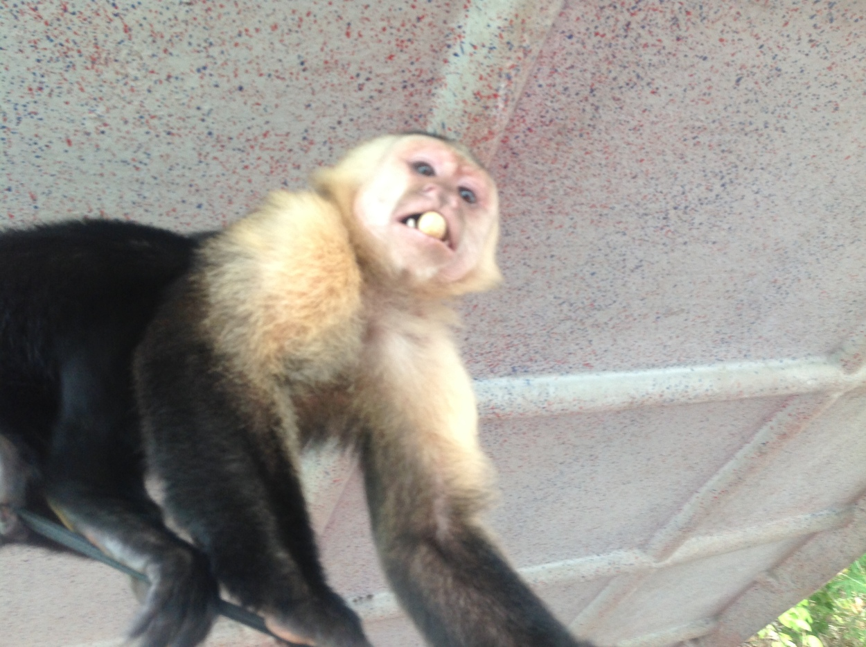 A Monkey in Panama