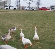 Texan Geese are Traveling