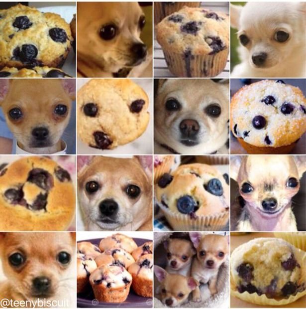 Chihuahua-or-Muffin