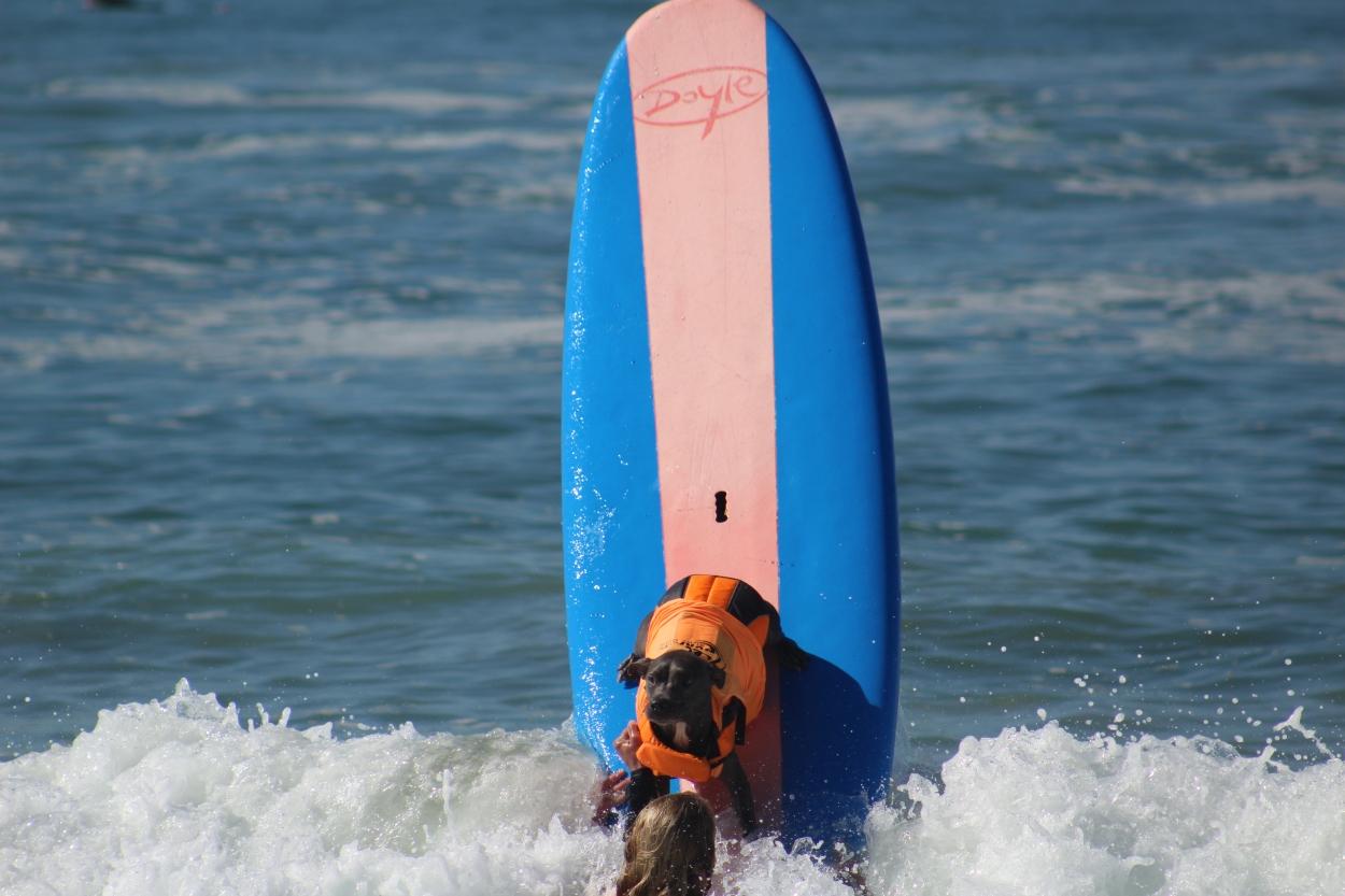 huntington-beach_dog-surf_sept-25-2016-241